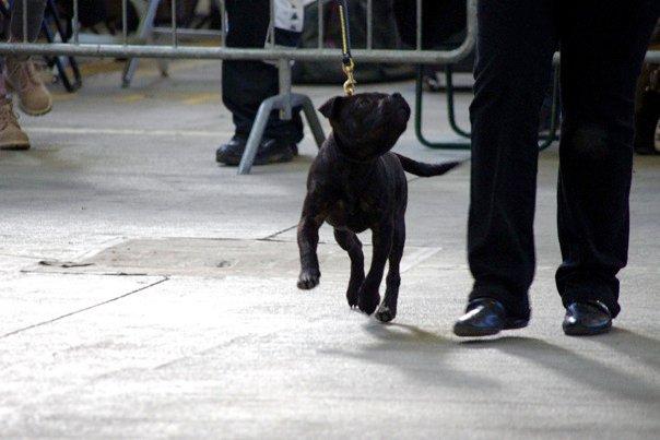 noe-raduno-terrier-forli-2010